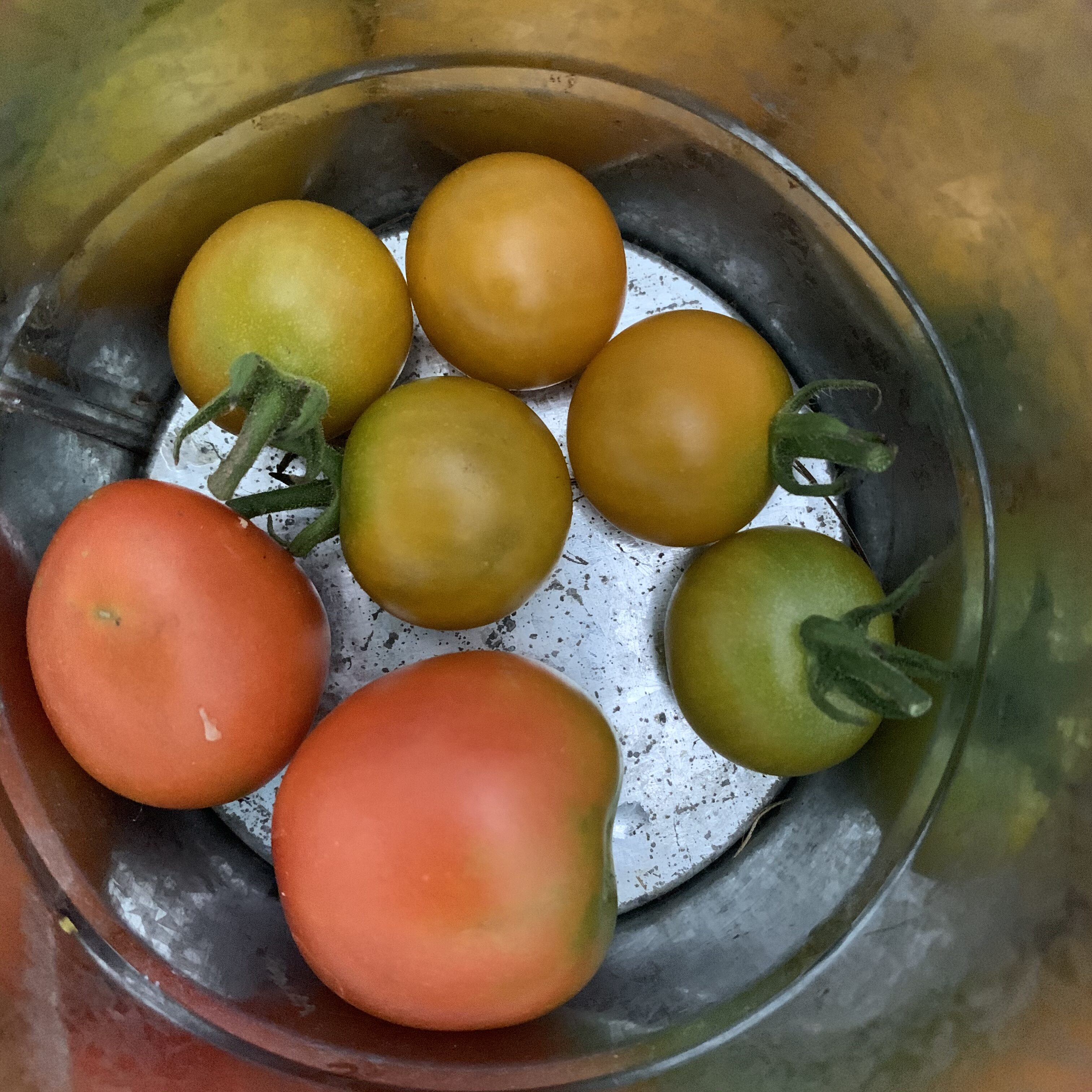 7C6C1F55 63F3 4DF0 8165 C71DCB26832F Fourth of July Tomato!