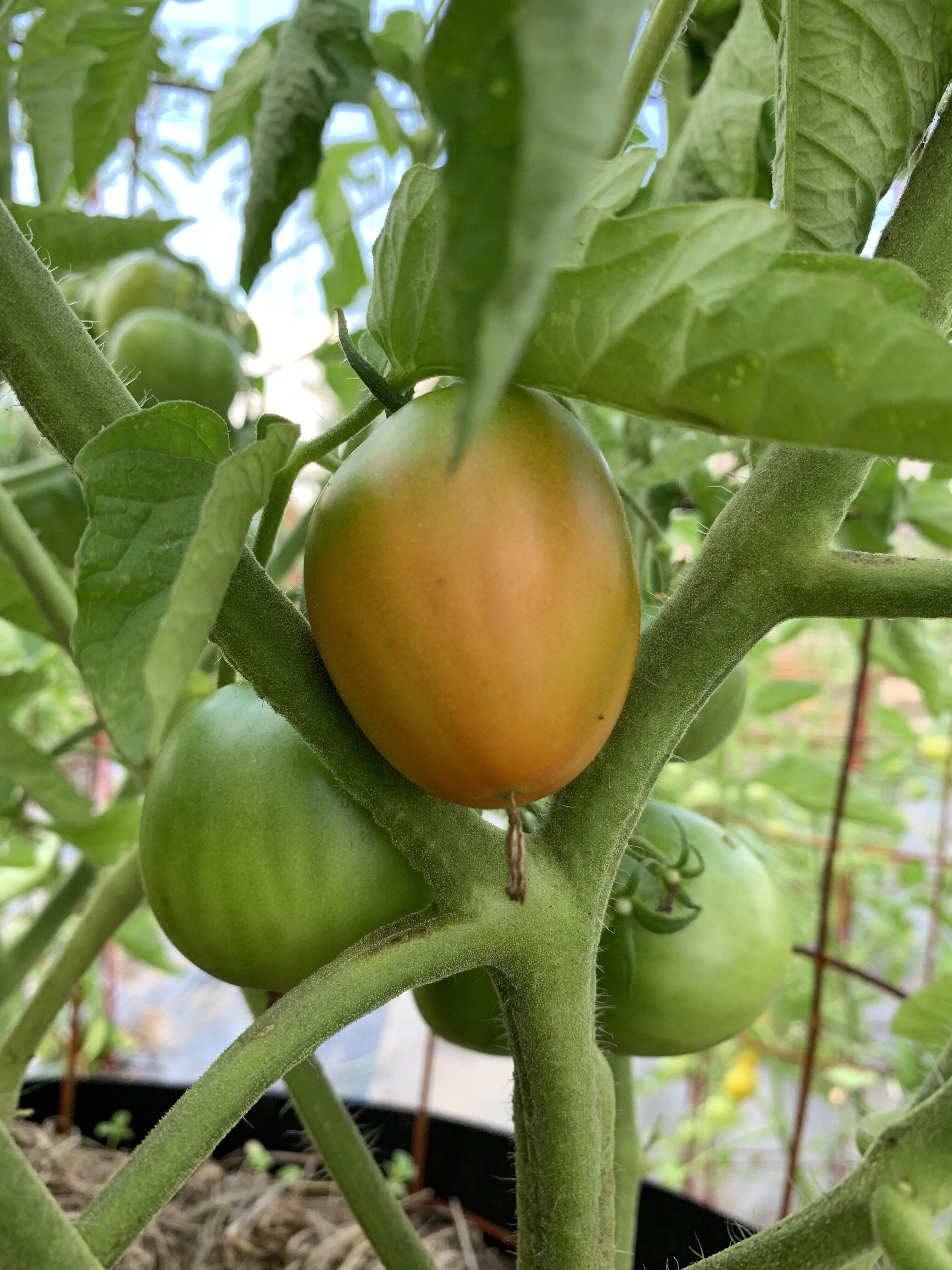ACD334D9 387D 4DA1 8773 2E3A063F35BB Fourth of July Tomato!