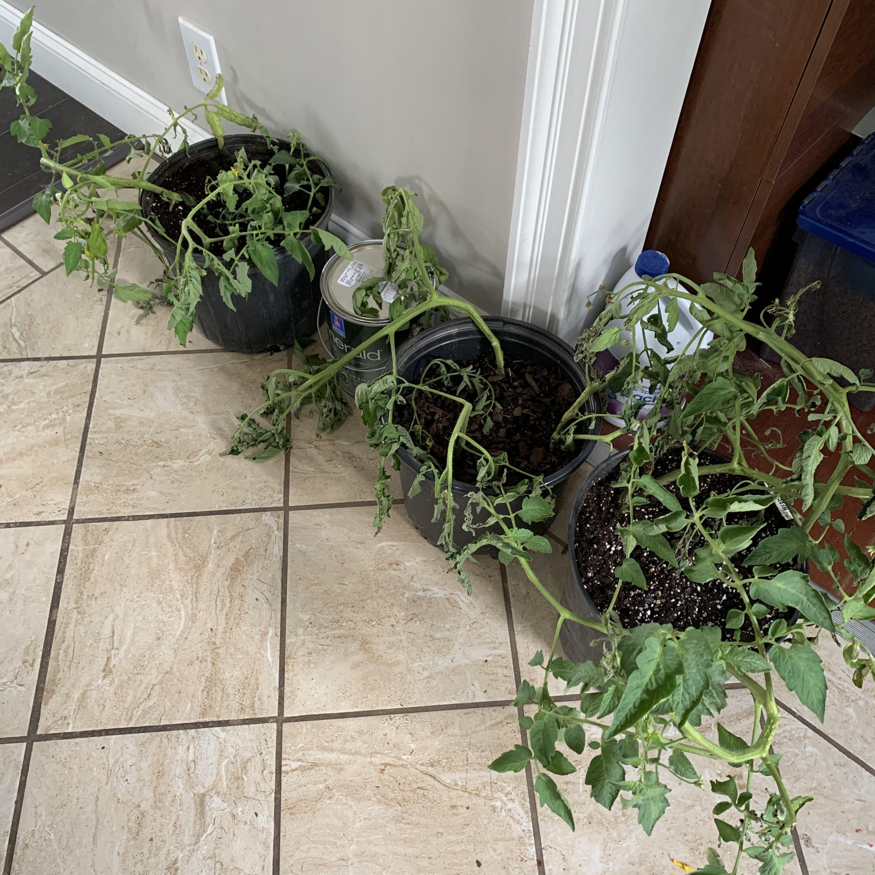 E6D1F8DA 626F 4C60 AD04 B80D2FF55E7B Fourth of July Tomato!