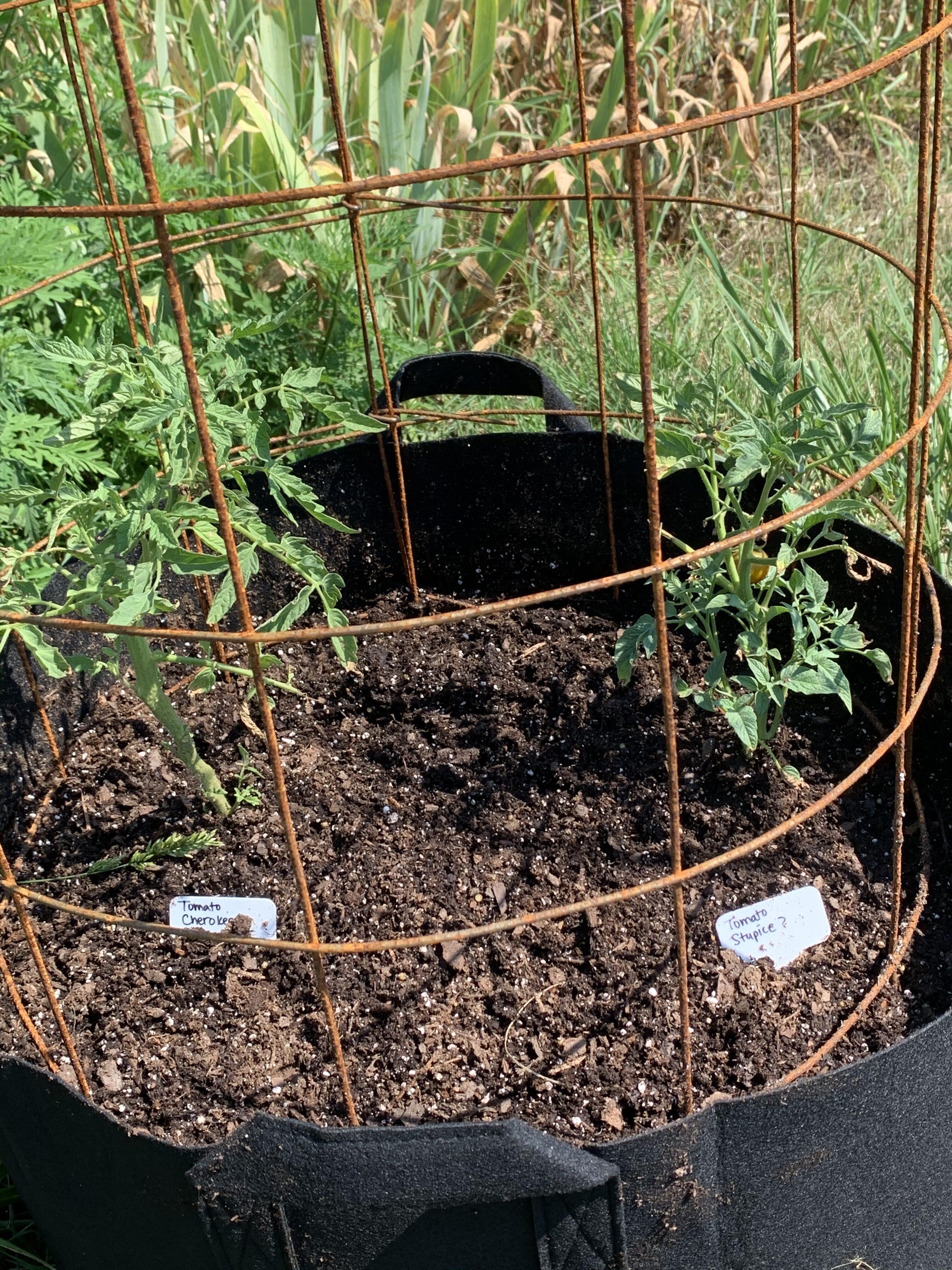 EEAFF407 3923 46B4 A7E7 8BCC559E7E7F Fourth of July Tomato!