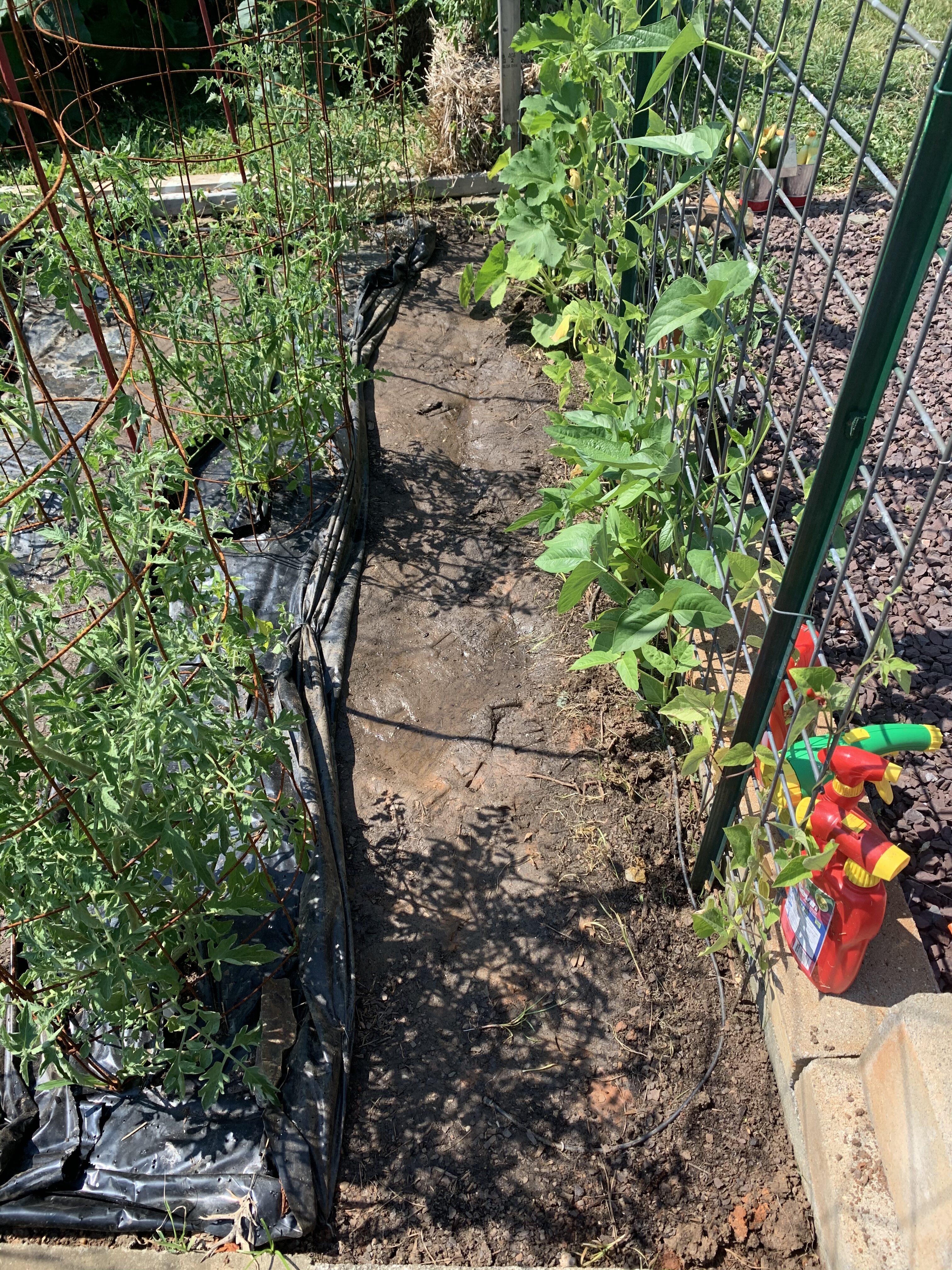 F0DB7224 E889 46D1 A537 644F0C3DEF5F Fourth of July Tomato!