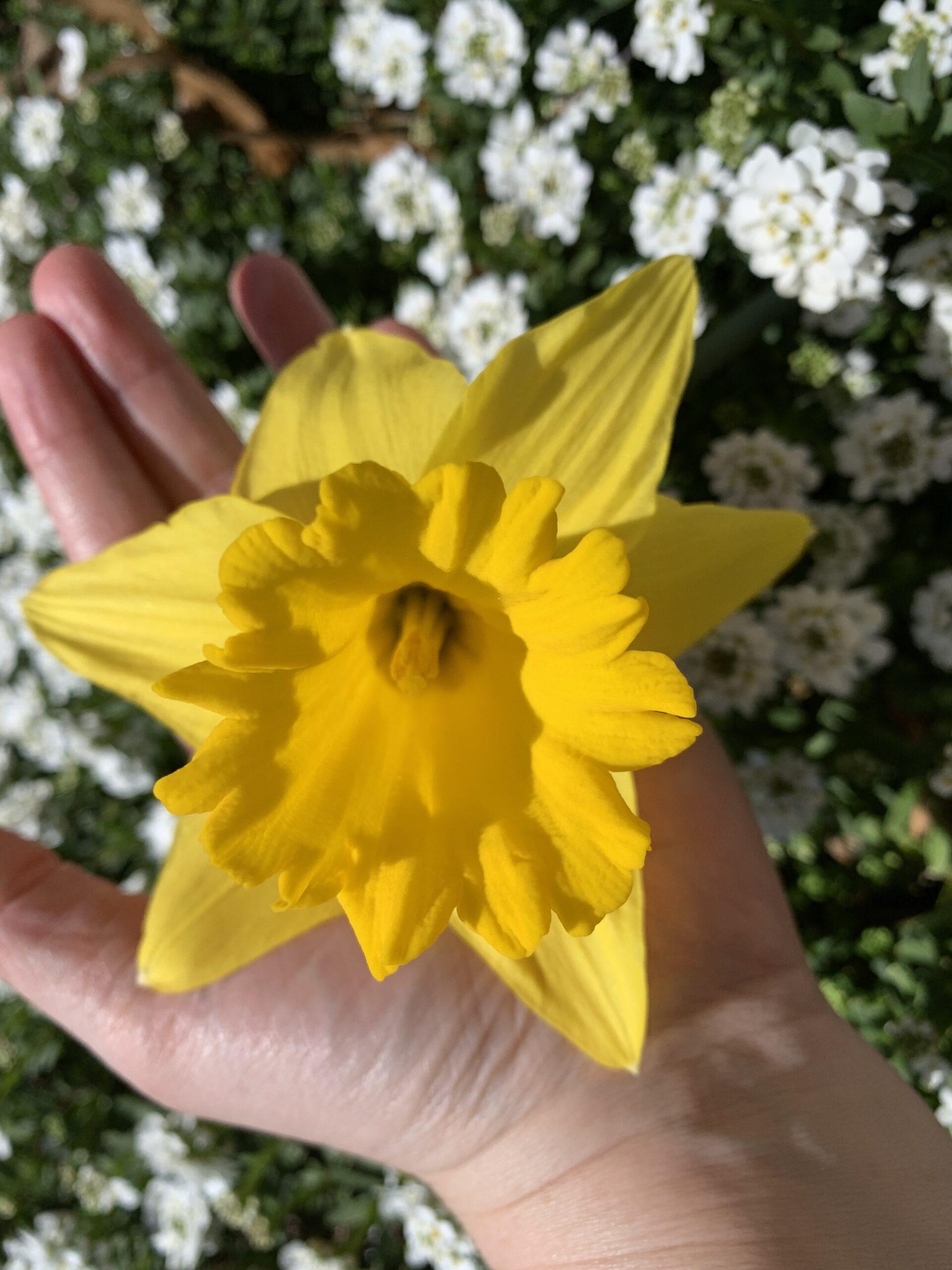 img 4952 scaled Daffodils!