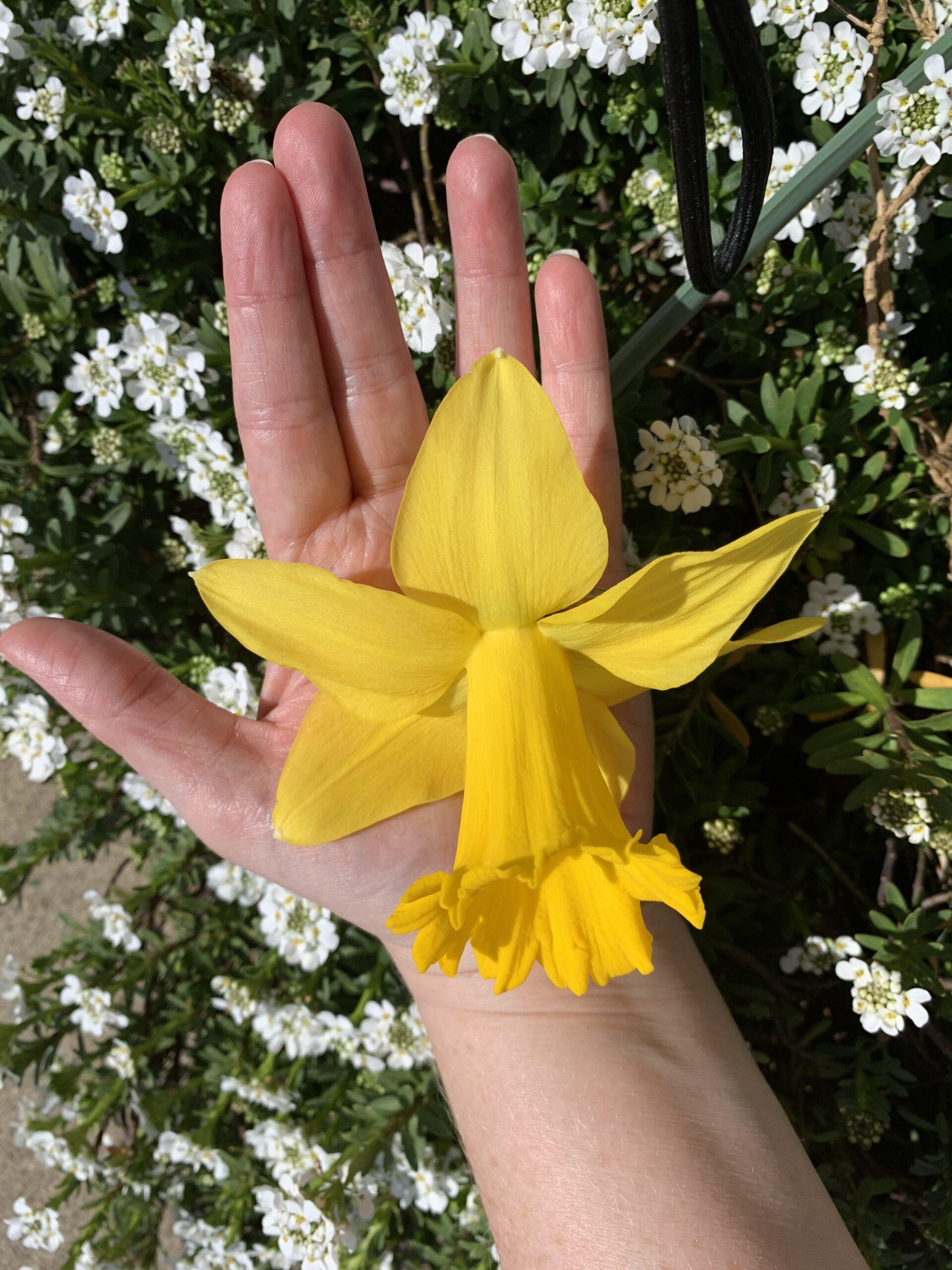 img 4954 scaled Daffodils!