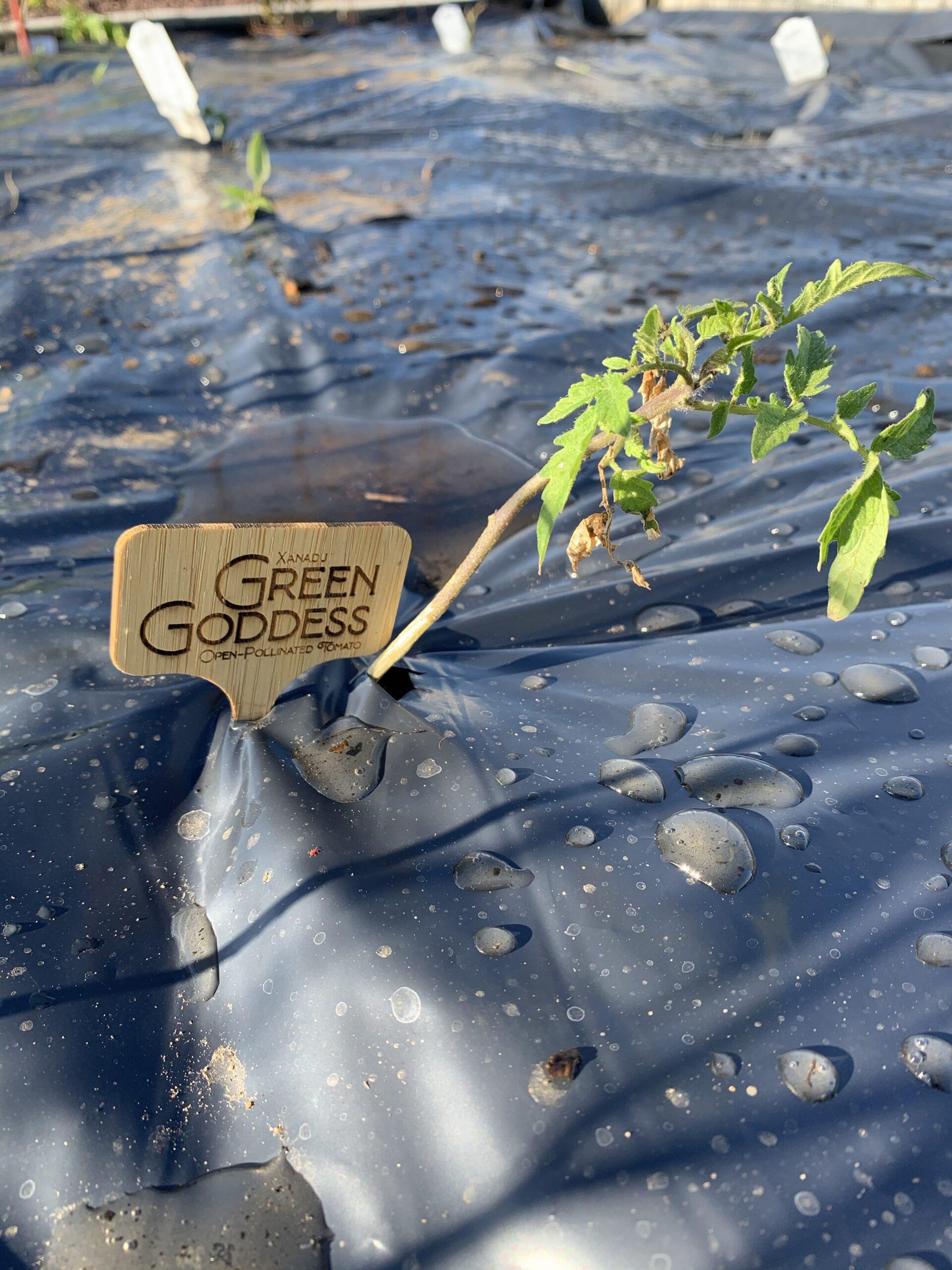 img 5568 scaled Tomato Planting Day