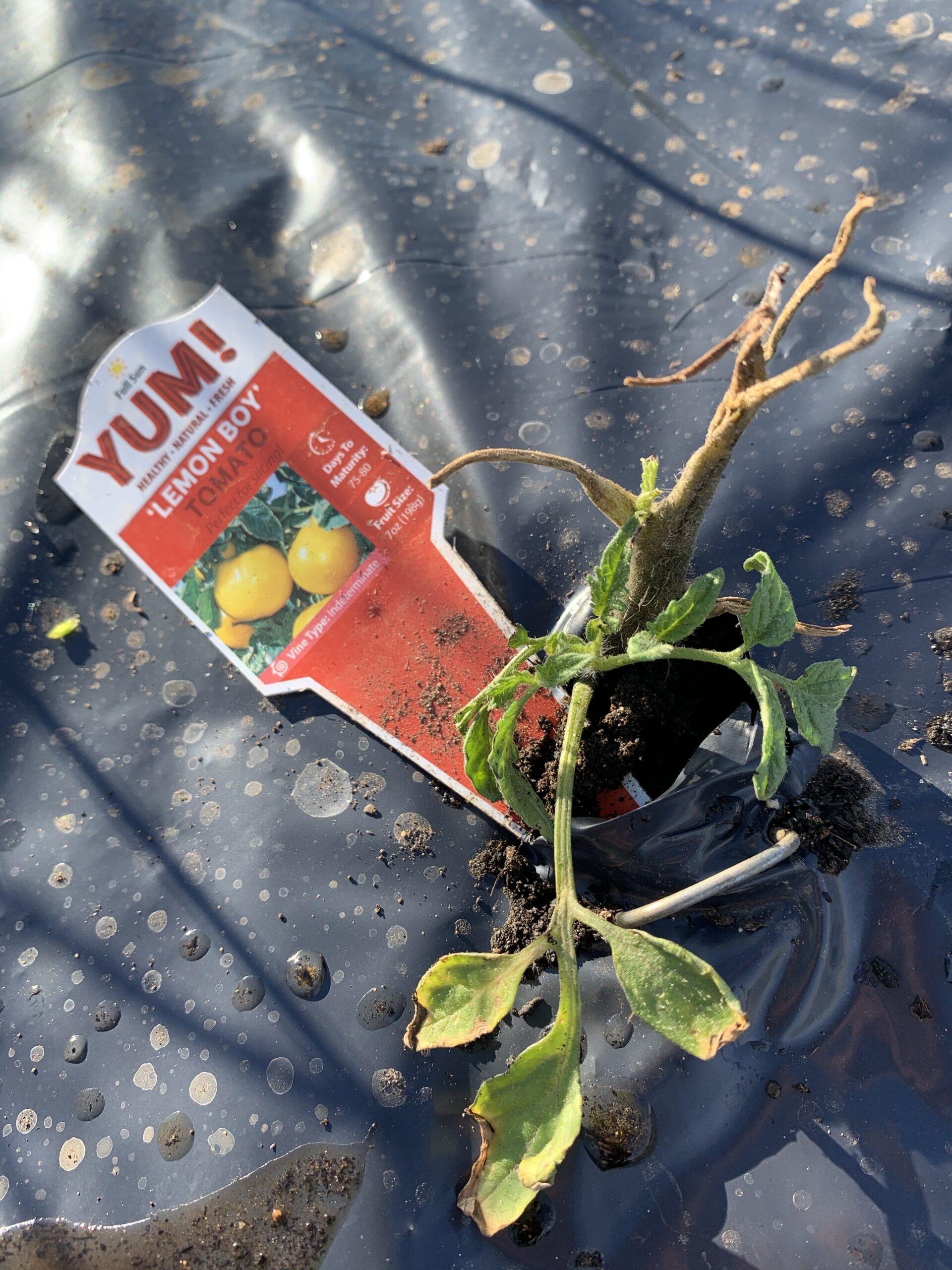 img 5570 scaled Tomato Planting Day