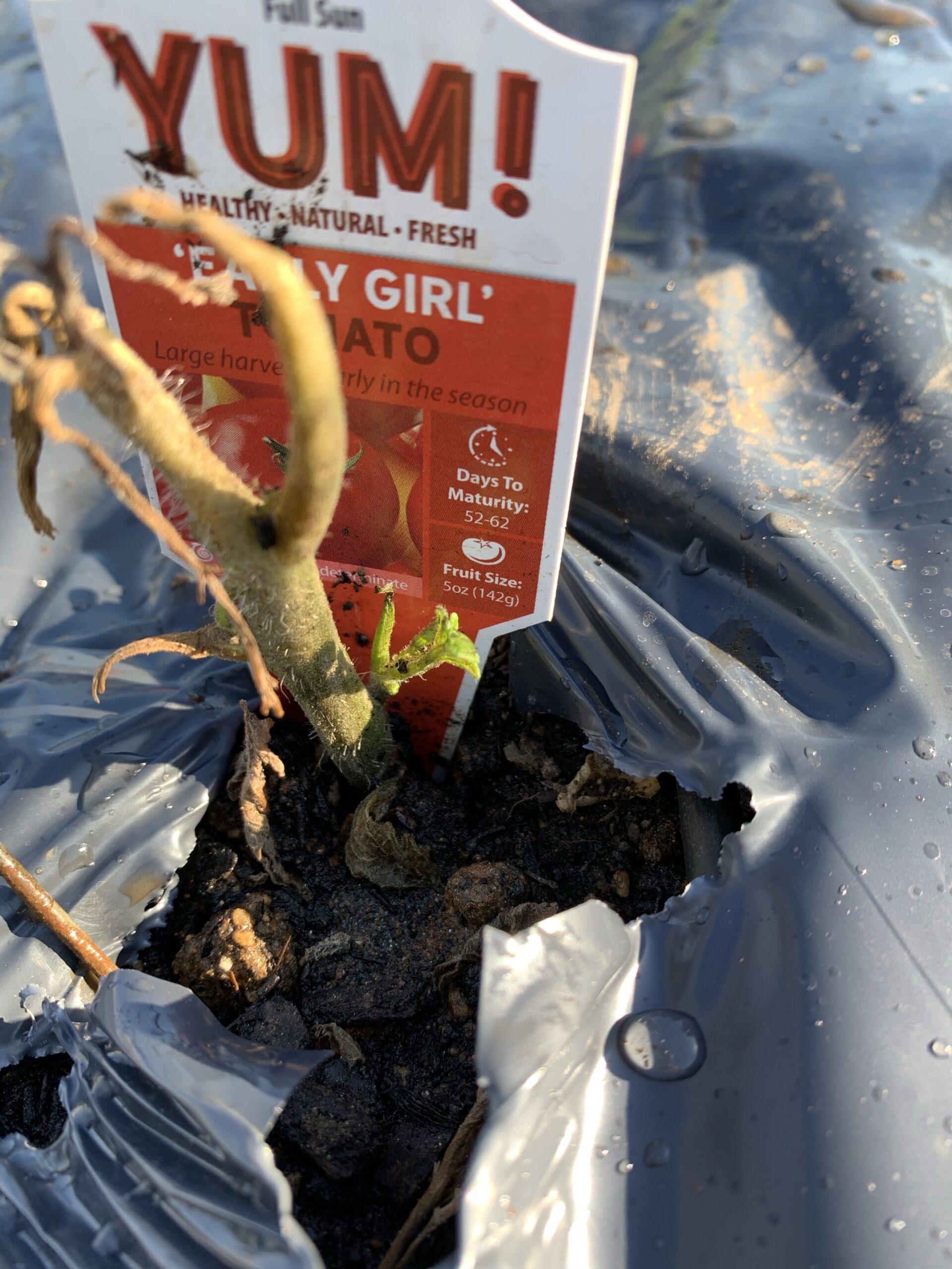 img 5571 scaled Tomato Planting Day