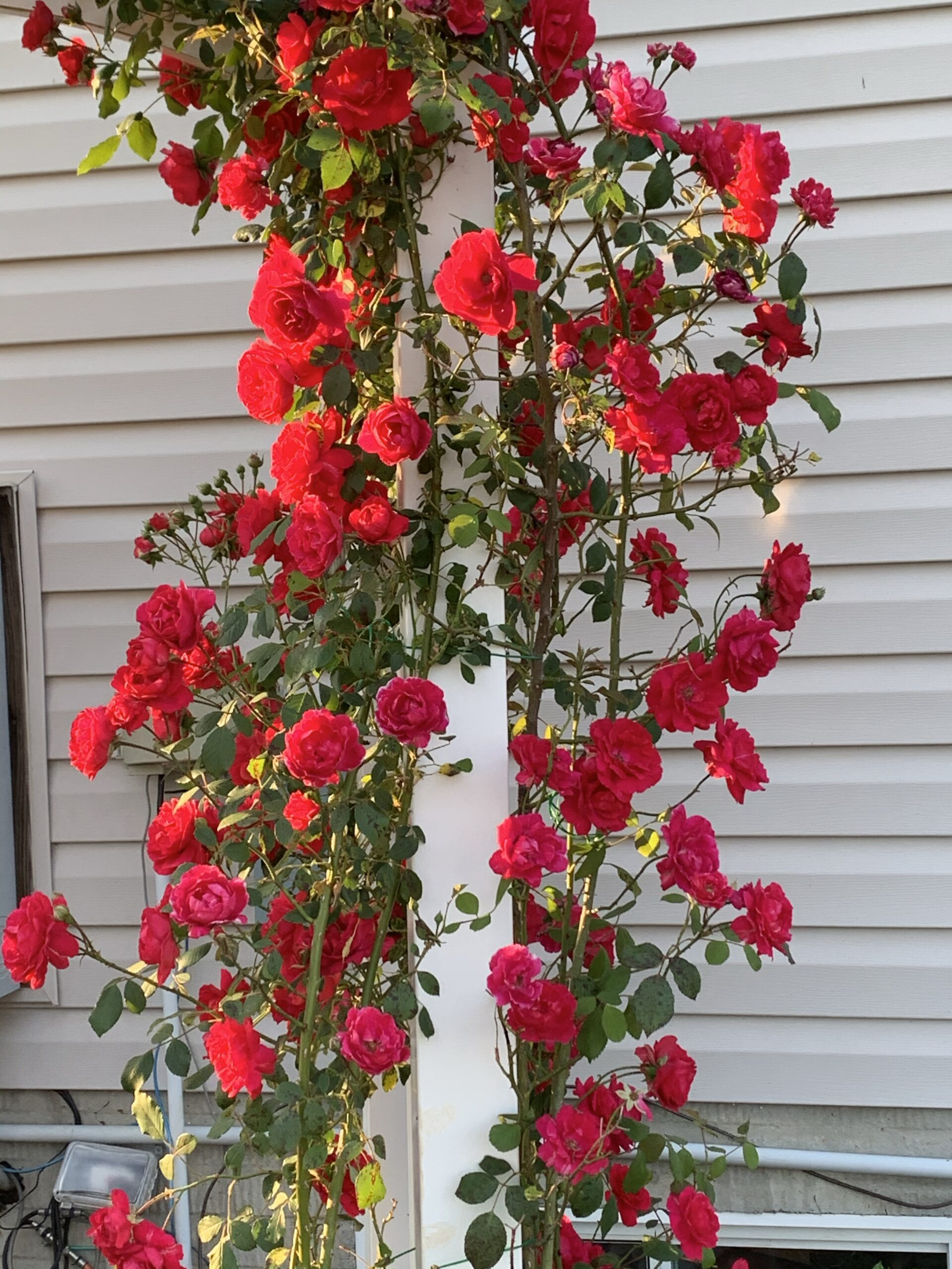 img 5844 scaled Roses and more